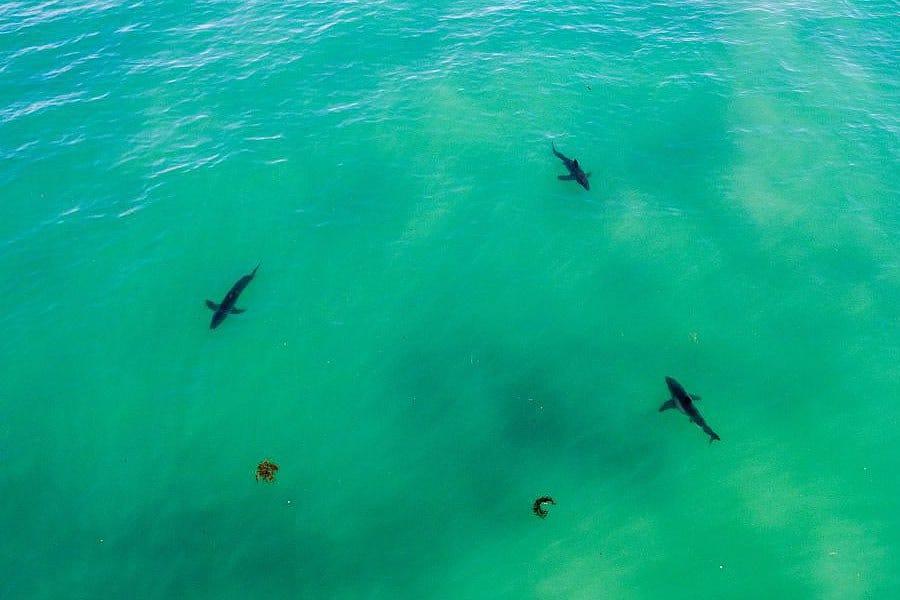 Los tiburones invaden las playas de California