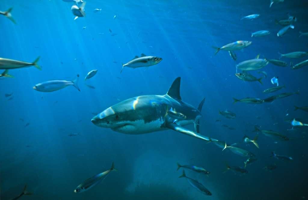 ¿Por qué han aumentado los ataques de tiburones?